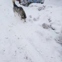 Найден пёс, порода хаски, окрас серо-белый