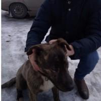 Найдена собака, окрас коричнево-черный с белой грудкой
