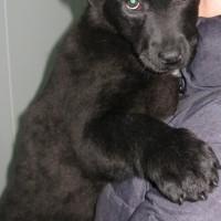 В добрые руки, собачка, окрас черный