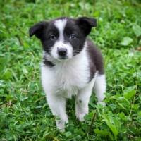 В добрые руки, щенок девочка, окрас чёрно-белый