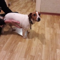 Найдена собака, окрас белый с коричневыми пятнами