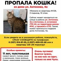 Потеряна кошка, окрас камышовый