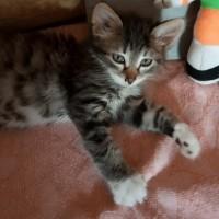 В добрые руки, котенок, окрас серый