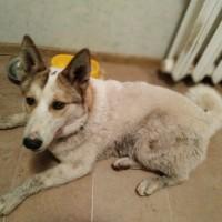 Найдена собака, окрас светлый, коричнево-рыжие уши
