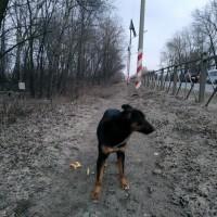 Найден пёс\собака, окрас черно-коричневый с белой грудкой