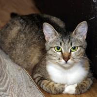 В добрые руки, кошка, окрас черно-серый с белой грудкой и лапами
