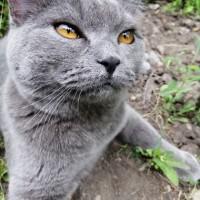 В добрые руки, кот, окрас дымчатый