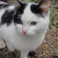 Пропал кот, окрас белый с черными пятнами