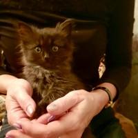 В добрые руки, котенок, окрас дымчатый