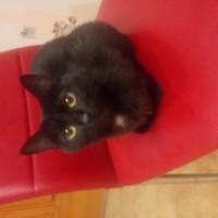 Пропала кошка, окрас чёрный с белой грудкой