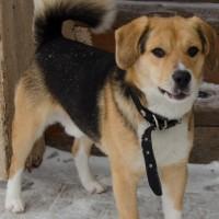 Потеряна собака, порода бигль, окрас бежево-черный