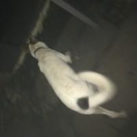 Найдена собака, окрас белый с черными пятнами