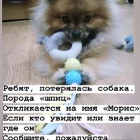 Потеряна собака, порода шпиц