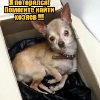 Найден пес, порода той-терьер