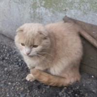 Потерялся кот, окрас персиково-рыжий, вислоухий