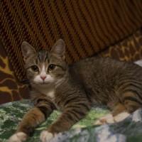 В добрые руки, кошка, окрас коричневый с белыми пятнами, полосатая