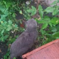 Найдена кошка, порода британская, окрас дымчатый