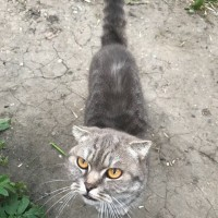 Найдена кошка, окрас серый
