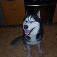 Пропал пес, порода хаски, окрас черно-белый