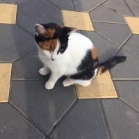 Найдена кошка, окрас трехцветный