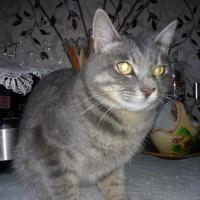 Найдена кот, окрас серый