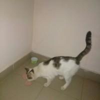 Найден кот, окрас бело-серый с черными полосами