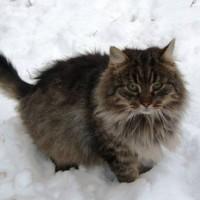 Найден кот, окрас камышовый, пушистый