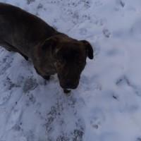 Найдена собака, порода помесь стафа или аналогичной породы