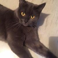 В добрые руки, кошка, порода британская, окрас дымчатый