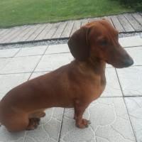 Найден пес, порода такса, окрас коричневый