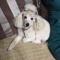 Пропала собака, порода карликовый пудель, окрас белый