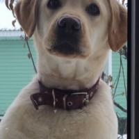 Пропала собака, порода лайка, окрас белый