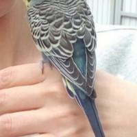 Найден волнистый попугайчик
