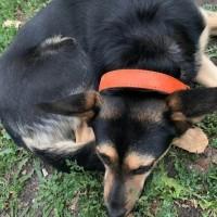 Найдена собака, окрас черно-коричневый