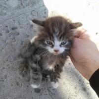 В добрые руки, котенок, окрас камышовый, белая мордочка и лапы