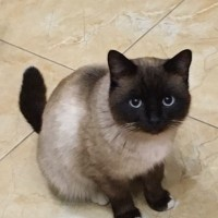 Найден кот, окрас сиамский