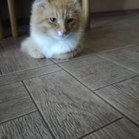 Найден кот, окрас рыже-белый