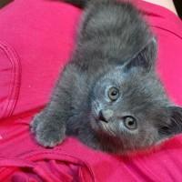 В добрые руки котенок, окрас серый