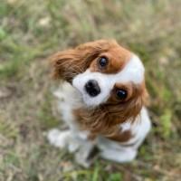 Пропала собака, окрас белый с рыжим