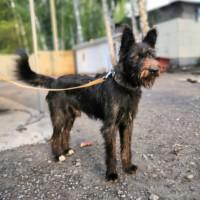 В добрые руки, пес, окрас черный с рыжицой