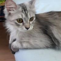 В добрые руки, кошка, окрас серо-белый, пушистая