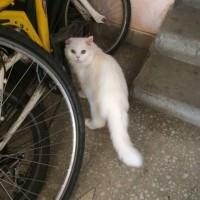 Найден кот, окрас светлый