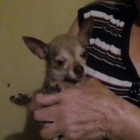 Найдена собака, порода чихуахуа, окрас темный, белая мордочка