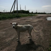 В добрые руки, собака, окрас бело-палевый