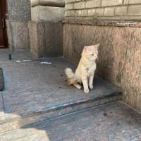 Найден кот, окрас светло-персиковый