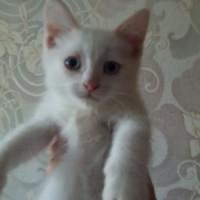 В добрые руки, котята, окрас белый