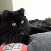 В добрые руки, кошка, окрас черный, пушистая