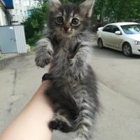 В добрые руки, котята, окрас серый
