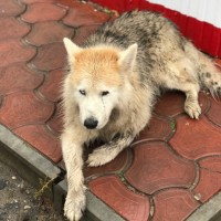 Найден пес, окрас серо-рыжий