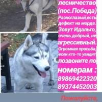 Пропала собака, порода хаски, окрас серо-белый